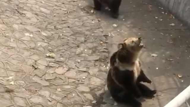 劝阻投喂狗熊,饲养员嗓子都喊坏了