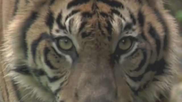 亚马逊巨蟒和美洲虎打架,谁能赢?