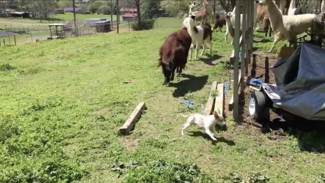 奇观!一群羊驼追着一只小狗