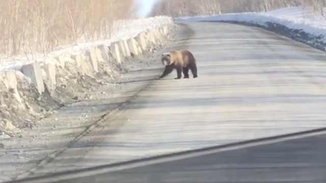 战斗民族日常:开车路上偶遇大黑熊