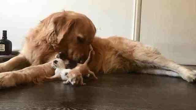 暖心!金毛充当妈妈安抚流浪小猫