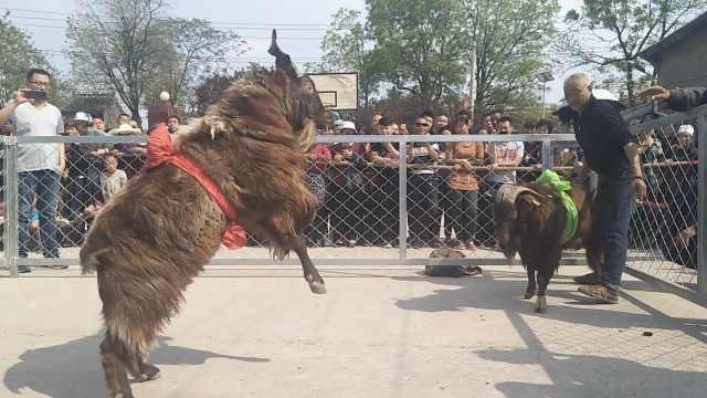山村办斗羊赛选羊,1只土山羊卖3千
