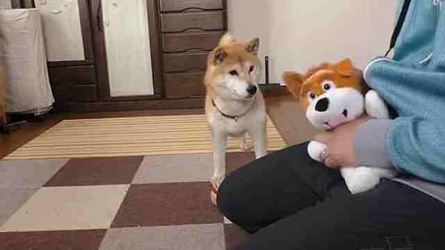 主人只和玩具狗玩,柴犬会吃醋吗?