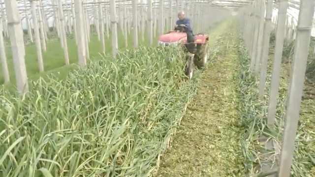蒜苔价低1斤5毛,蒜农直接地里碾碎