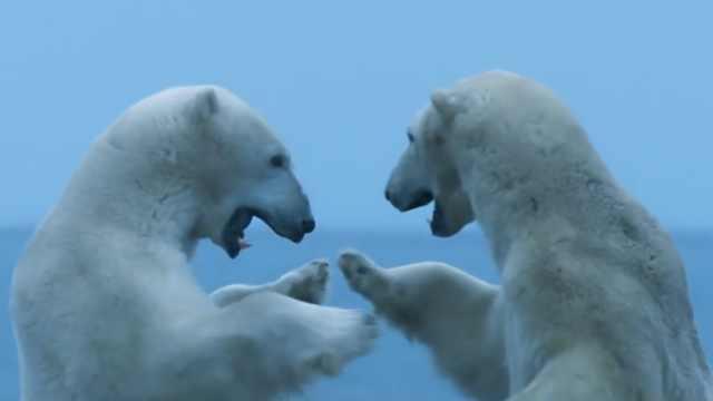 在这个小镇,北极熊比人还多
