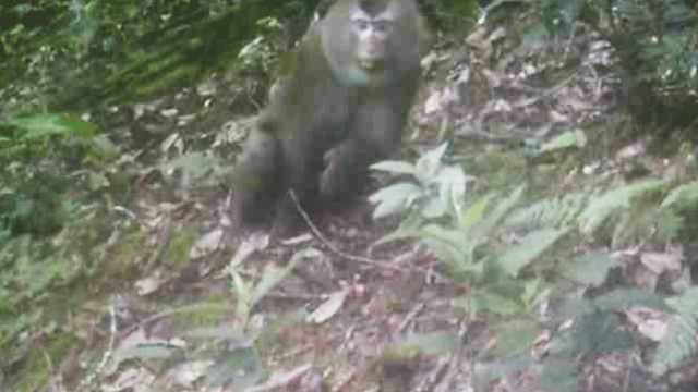 罕见!云南保护区首次拍到豚尾猴
