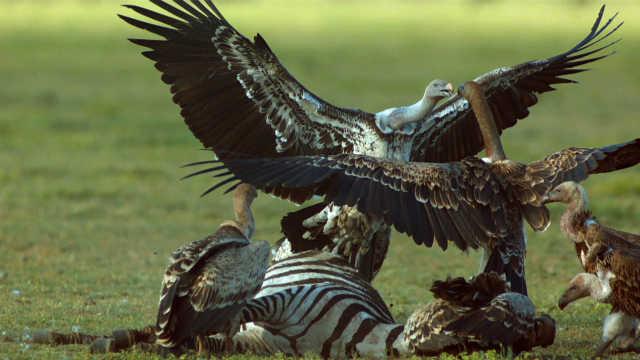 """鸟类""""老炮儿""""中的自由搏击"""