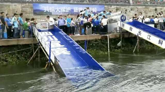 四川增殖放流长江鲟8万尾,最重60斤