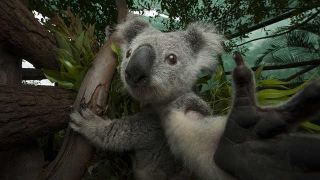 直播:十年灭绝?澳洲2亿元救考拉