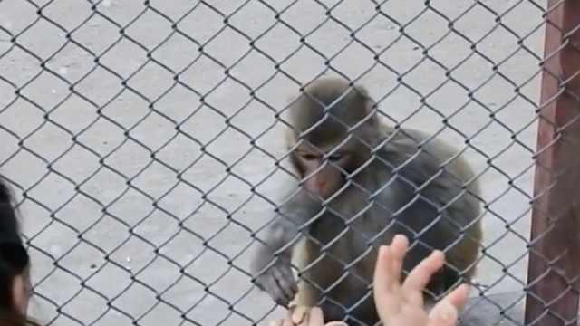 什么素质!游客跨栏喂猴,胡乱投食