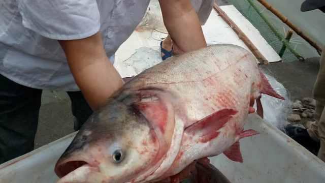 浙江1中学湖里捞400斤鱼,高三加餐