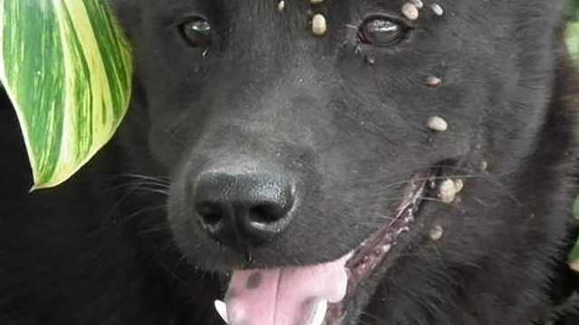 为什么狗狗身上长虫子不能直接拔?