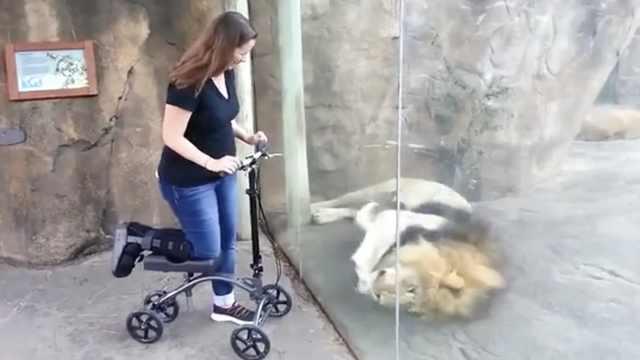 狮子撒娇打滚,只想要游客滑板车
