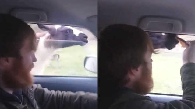 羊驼为了要吃的,竟然追着车子跑