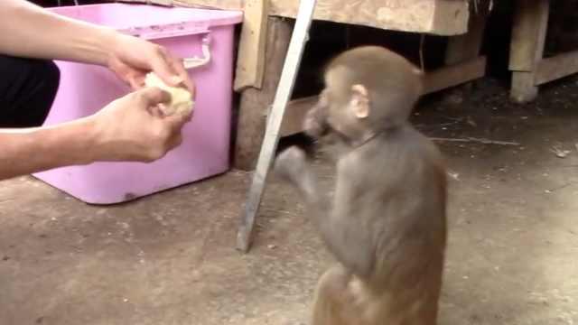 感恩之心!放生猕猴常回救助站探亲