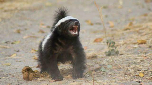 假如人踢了蜜獾一脚会发生什么事?