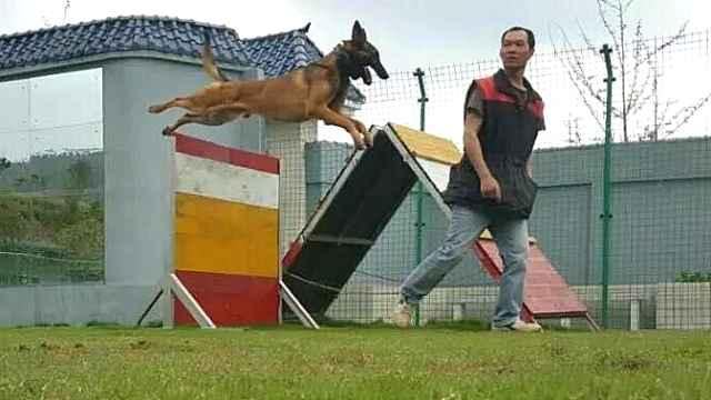 他训练过700只狗:二哈其实没那么二