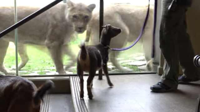 动物园给狮子引见小羊,火花四溅!