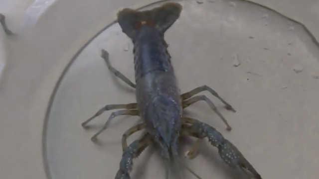 阳澄湖现蓝色小龙虾,专家:基因突变