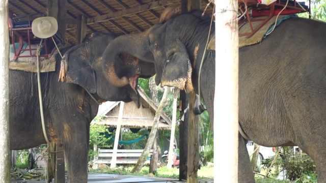 在泰国看大象,近距离感受大象