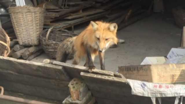 受伤狐狸求救村医,伤好后留下看家
