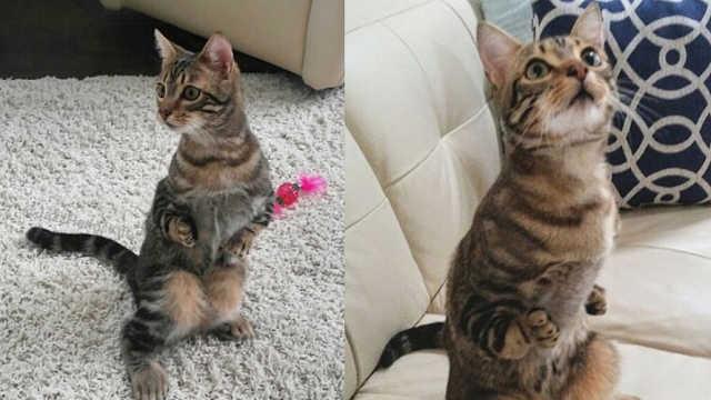 猫咪前腿发育不全,却有超强适应力