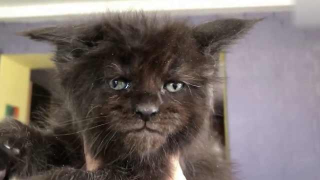 这只猫长了张人脸,面部表情超丰富