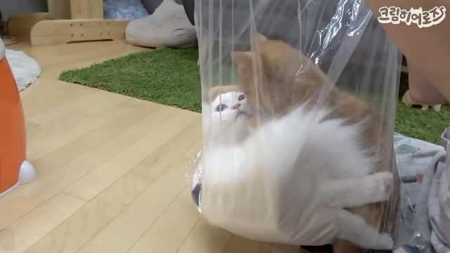 萌!铲屎官示范如何用袋子绑架猫咪
