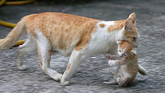为什么小猫出生,母猫会把它吃掉?