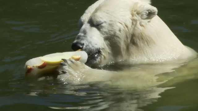 热到窒息!德国北极熊吃冰棍解暑