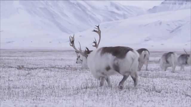 芬兰最热七月!圣诞老人驯鹿走不动