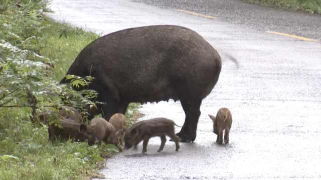 野猪妈带娃公路遛弯,养护工:不怕人