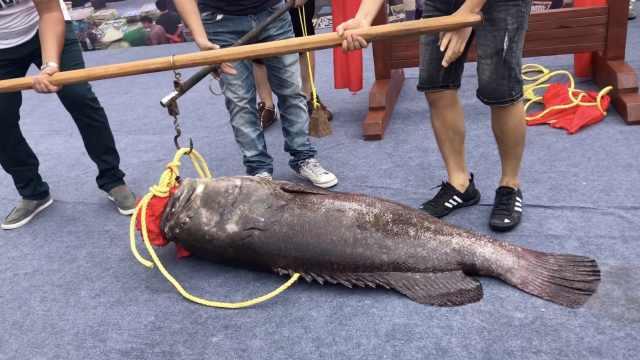 北海庆开渔!152斤鱼王拍出27万高价
