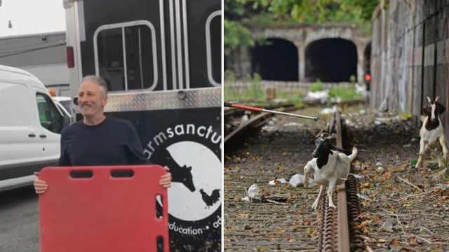 纽约铁轨闯入两只山羊,名主持收养