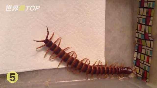 5个新发现的物种!巨型蜈蚣被找到