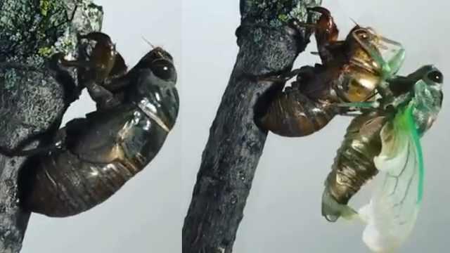金蝉脱壳:近距离看知了脱壳全过程