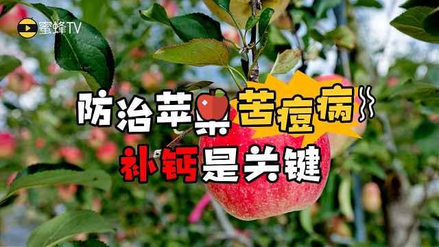 苦痘病令苹果变色腐烂,补钙是关键