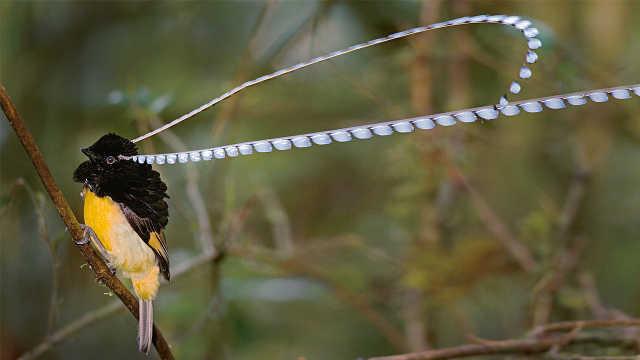5种奇特的天堂鸟
