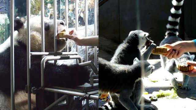 萌!动物园过中秋,熊猫也要吃月饼