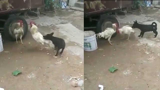 爆笑!两只公鸡打架,狗狗忙着拉架