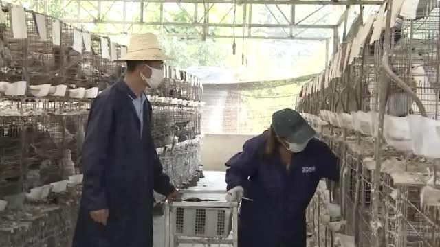 退伍兵哥回乡养鸽,带动200村民就业