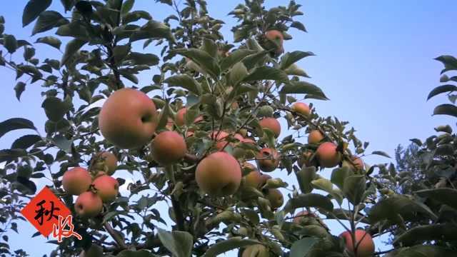 他种30公顷富硒苹果:最大1个重2斤