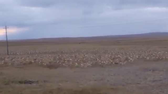 内蒙古现3千野生黄羊,夜晚结伴出游