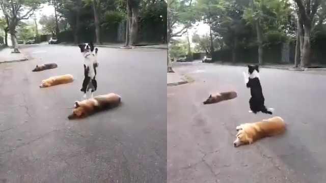 生活不易!狗狗们互相配合表演跨栏