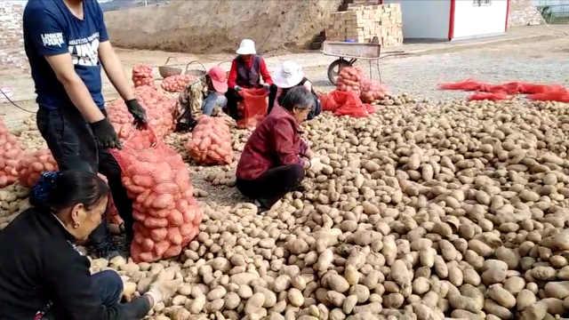 120亩荒地种芋头,村民喜收30万斤