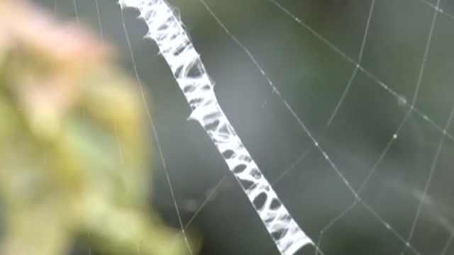 成精了?蜘蛛织网写