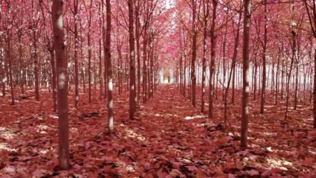 大叔爱秋天,花千万建300亩红枫林