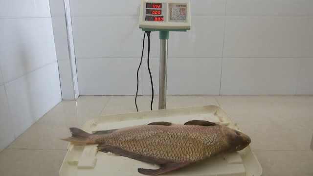 酒店老板买来胭脂鱼,晒朋友圈被拘