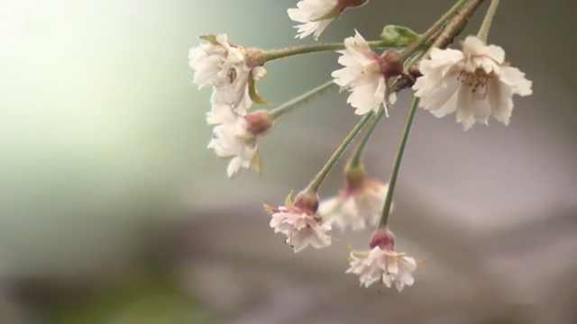 日本秋季樱花绽放,居然是因为台风