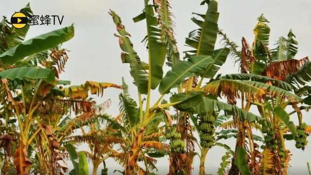 四措施远离蕉园毁灭者—香蕉枯萎病